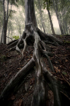 tree roots in misty forest sepia photo  Stock Photo