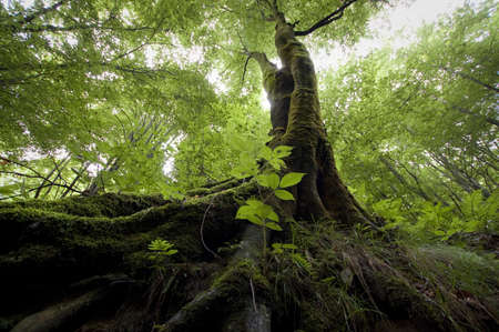 serenity: tree with moss on roots in a green forest