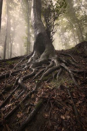 Mysterious roots of a tree in a forest with fog  Standard-Bild