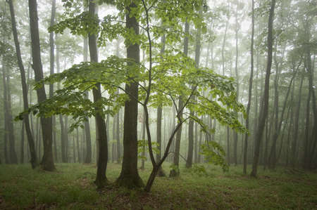 Green tree in misty forest Stock Photo - 15379757