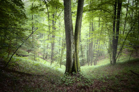 Symmetrical trees in a green forest Stock Photo - 15827436