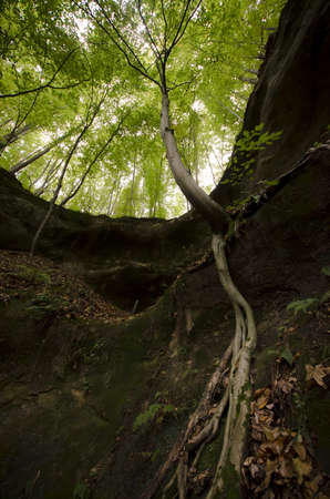 Tree with big roots hanging on a cliff Stock Photo - 15935869