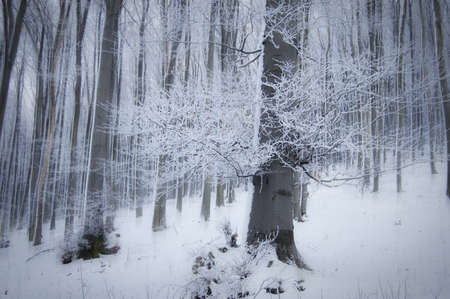 snow on the ground: Strange forest in winter with big tree