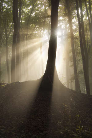 Sun rays behing a tree in a beautiful forest with fog Stock Photo - 16400276