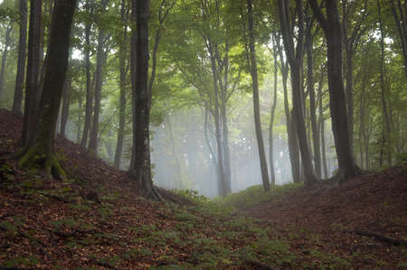 beautiful forest with fog Stock Photo - 16582027