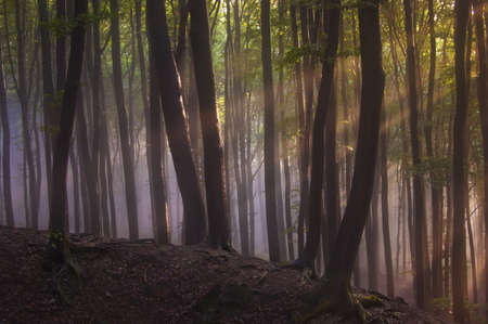 Rays of sun in a forest with fog after rain Stock Photo - 17779411