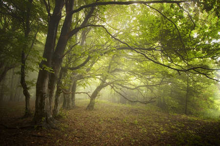 Beautiful forest with fog in summer and bent trees Stock Photo - 17779431