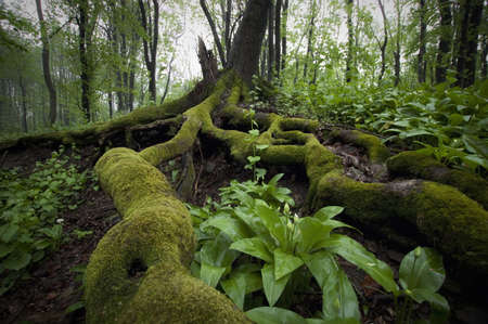 Green beautiful tree with roots in a forest in summer Stock Photo - 18129397