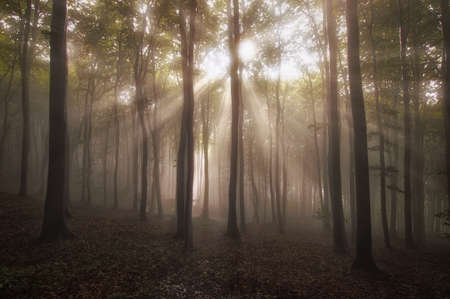 Sun rays in a beautiful forest with fog in summer Stock Photo - 18129395