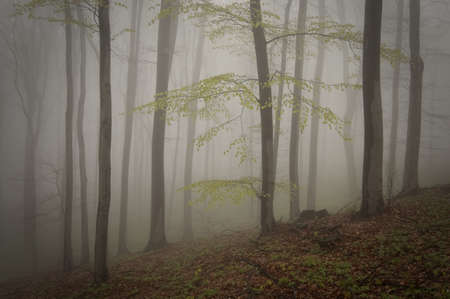 Tree with leaves in a forest with fog in summer Stock Photo - 18708464