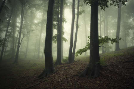 Fog trough the trees in a forest in summer Stock Photo - 18708463