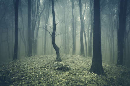 eerie: Eerie spooky forest with fog