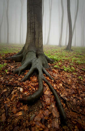 Tree with big roots in a forest with thick fog photo