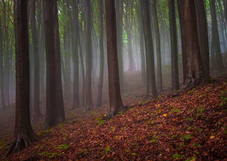 misty forest: Fog trough the trees after rain in the summer Stock Photo