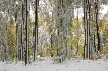 Snow on trees with leaves in late autumn photo