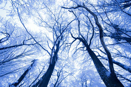 tree canopy: Frozen trees reaching up in a forest in winter