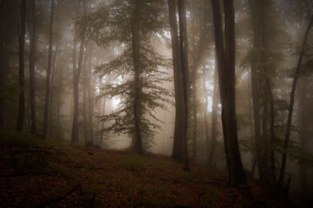 Mysterious dark forest with thick fog after rain photo