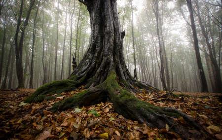 Stare drzewo z dużymi poskręcanych korzeni w lesie z mgły jesienią