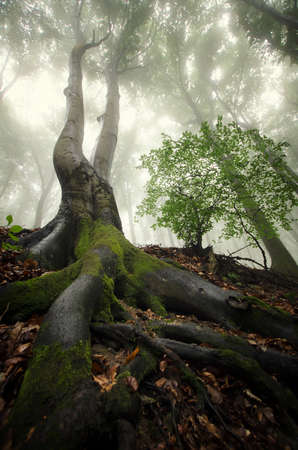 tree vertical: Tree with big twisted roots in a mysterious forest with fog in summer Stock Photo