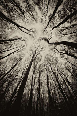 upward view in a dark spooky forest sepia  Standard-Bild