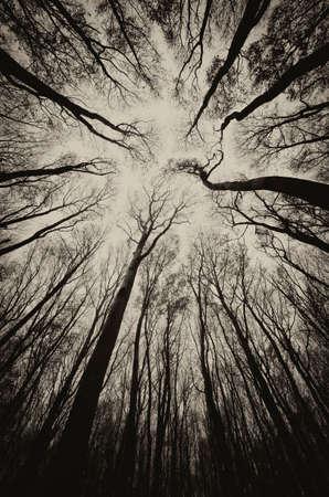 big scenery: upward view in a dark spooky forest sepia  Stock Photo