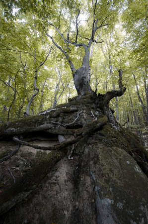 deep roots: Old tree with roots on a cliff