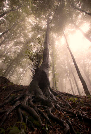 arbol con raices: Árbol encantado con grandes raíces en bosque misterioso Foto de archivo