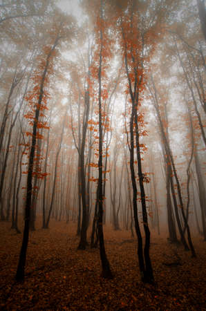 Red leaves on trees in forest with fog in autumn after fall Standard-Bild