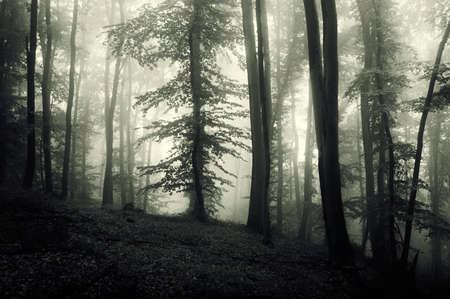 mystery woods: Enchanted forest with thick fog on Halloween Stock Photo