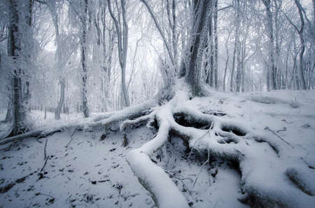Tree with wig roots in frozen forest with fog and snow in winter photo