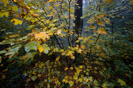 colorful tree: Colorful tree in autumn in forest