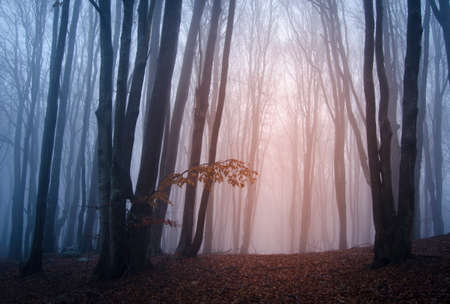 magical forest: Sunrise in scary fantasy forest with fog