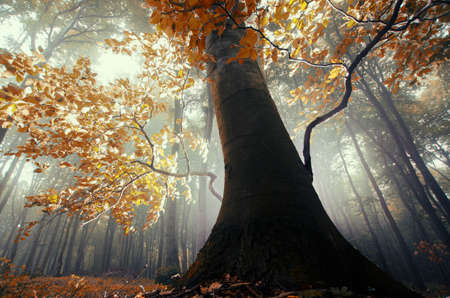 Giant tree with red yellow leaves in magical fantasy mysterious forest with fog