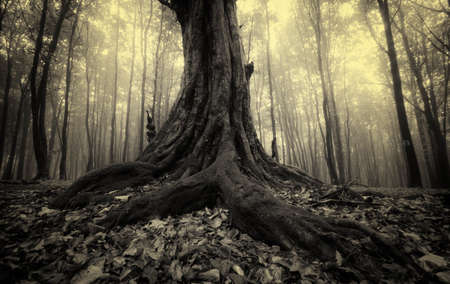 Roots of old giant tree in dark forest with fog 免版税图像