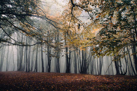 Autumn in a mysterious forest with fog after rain Standard-Bild