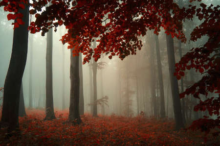Autumn in red forest with mysterious fog Standard-Bild