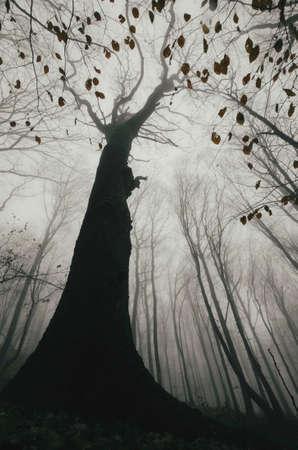 Giant boom in een donker achtervolgd bos met mist in de herfst