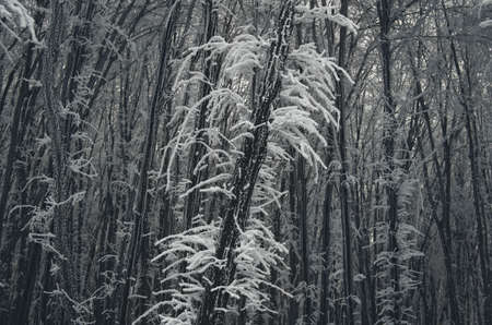 frozen trees: Frozen trees in winter forest with frost