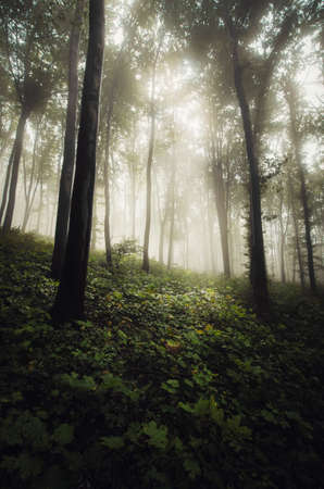 Fairy tale forest with fog. Mysterious green forest with mist. Misty woods with surreal light 免版税图像
