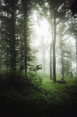 Fairy tale forest with fog. Fantasy forest with mysterious fog. Surreal forest with fog 免版税图像 - 100455663