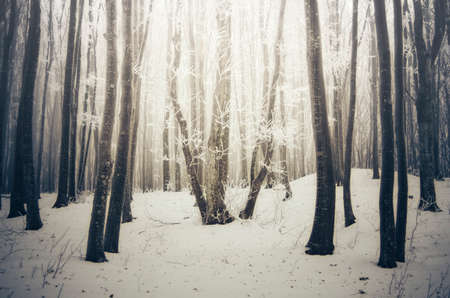 Winter forest with snow and magical light Stok Fotoğraf