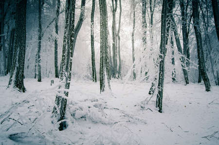 Enchanted winter forest on Christmas