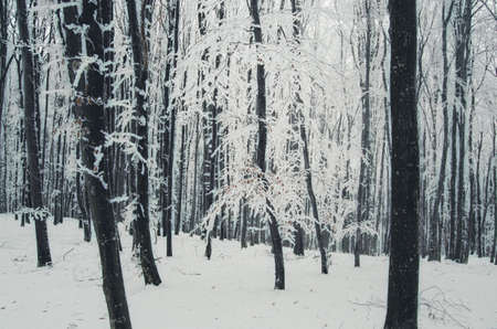 Snow on tree in the woods. Cold winter in the forest