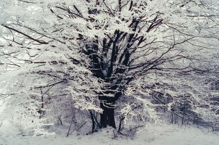 Tree covered with white frost in cold winter. Fairy tale winter with snow