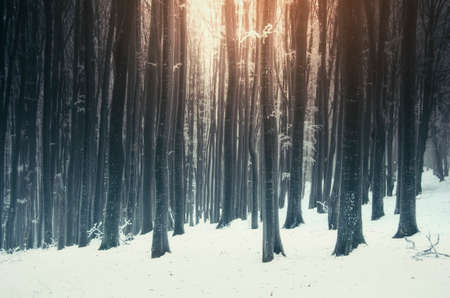 Sunset in winter forest. Magical light in winter woods with snow