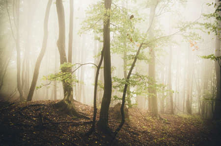 Enchanted fairy tale forest with fog and magical light in Transylvania 스톡 콘텐츠