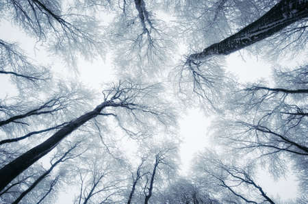 Trees reaching up to the sky in frozen forest in winter