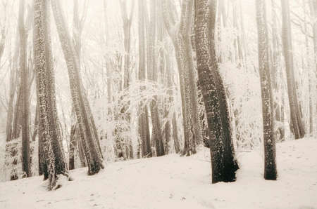 Winter forest with fog and snow. Winter wonderland wods Stock fotó