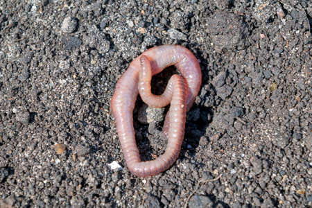Long earthworm crawling slowly on the wet earth. Earthworm, animal, ringworm. Good bait for fishing. The worm is illuminated by bright sunlight.
