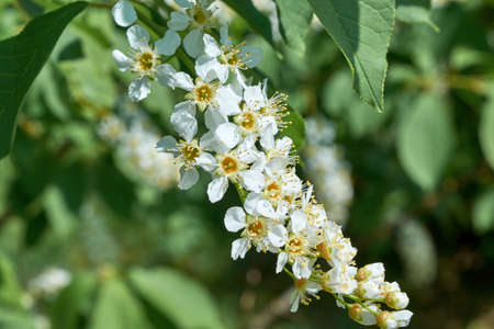 A few blossoming white flowers with pistils and stamens on a cherry tree. Flowers and white petals on green leaves background. The background is blurred, bokeh. Bright, warm, Sunny spring day.